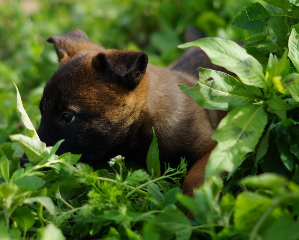 Купить щенка малинуа